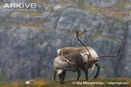 Reindeer-male-and-female-courting-during-the-rut