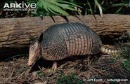Side-profile-of-nine-banded-armadillo-