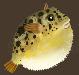 Meat fugufish