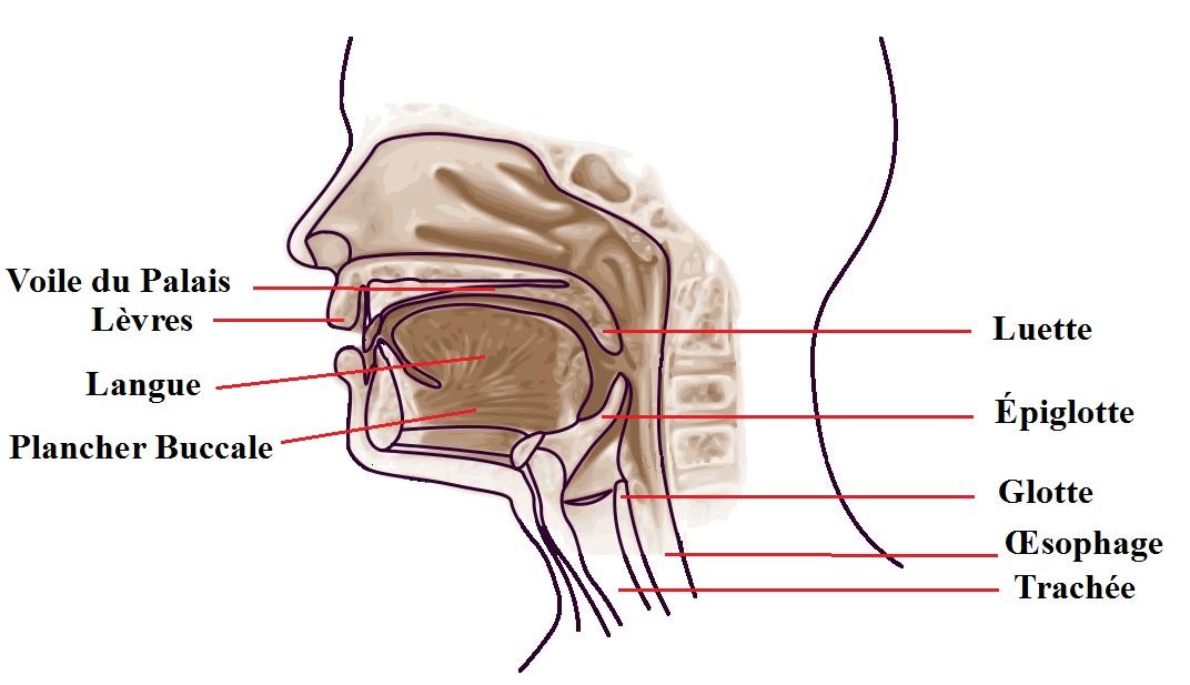 Anatomie Bouche sdigest - la bouche | wiki ifes | fandom poweredwikia