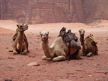 Our Camels