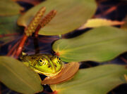 Frog Fatale ...