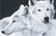 WhiteWolves