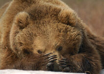 Pulchny Niedźwiedź