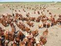 Free Range Chickens on Footpath^^ Near Seisdon, Staffordshire - geograph org uk - 378289