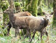 Irl-female red deer Killarney