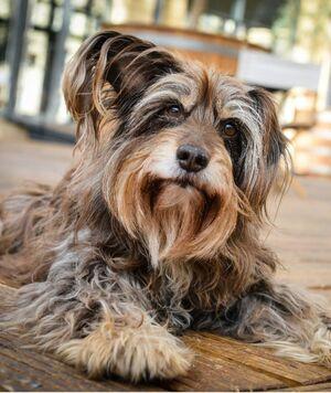 Mischlingshund Benji als Möbius