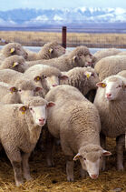 Flock of sheep-1-