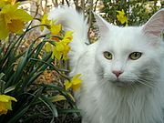 180px-Stunning White Maine Coon-1-