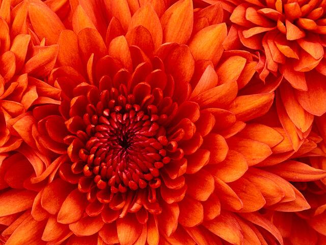 File:Chrysanthemum.jpg