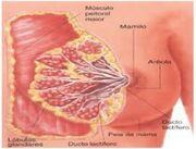 292px-Anatomiada mama-1-