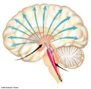 Figura 1 - cerebro