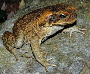 Invasivore Cane Toad