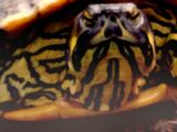 Juvenile Turtlespawn