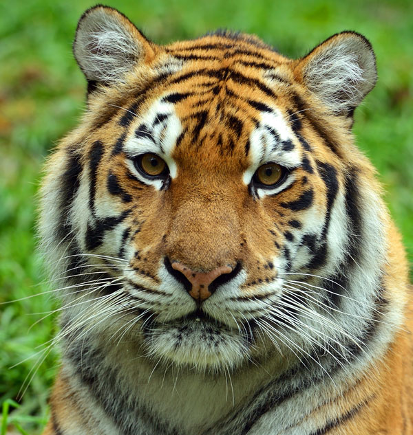 image tiger face jpg injustice mobile wiki fandom powered by wikia