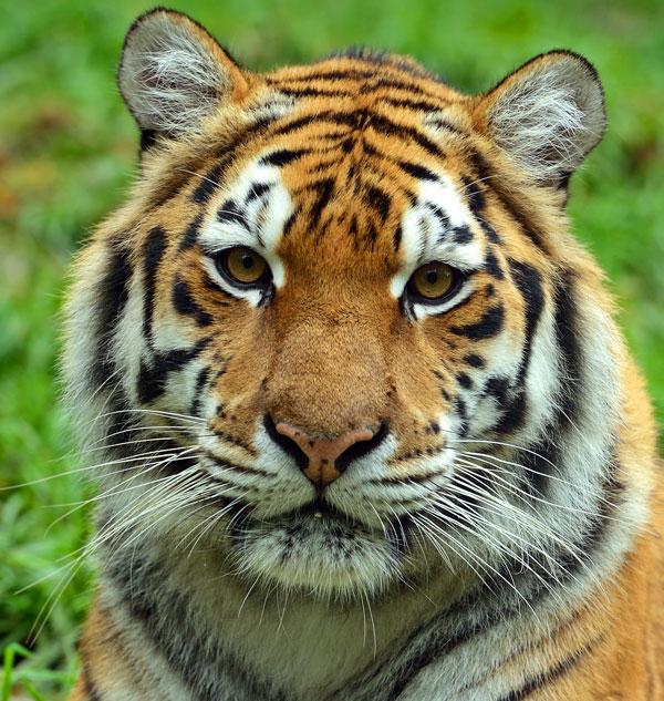 image tiger facejpg injustice mobile wiki fandom