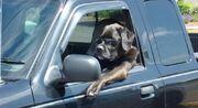 Cool Driving Dog