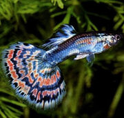Guppy Fish With Photos 03