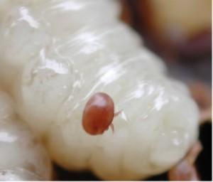 File:Varroa Mite on larvae.jpg