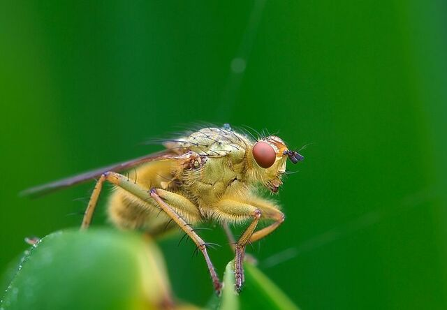File:Yellow Dung Fly.jpg