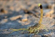 DeathstalkerScorpion