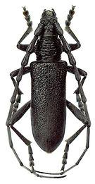 Cerambyx scopolii