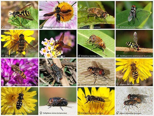 File:Diptera.jpg