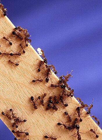 File:Fire ants.jpg