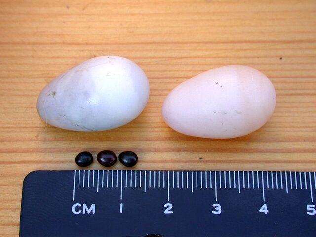 File:Crataerina pallida eggs (below).jpg