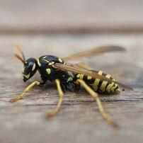 Wasp image 2
