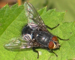 File:Calliphora vomitoria.jpg