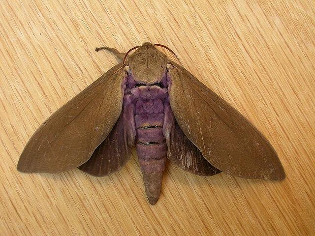 File:Abantiades hyalinatus.jpg
