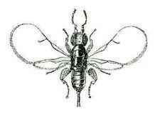 Blastophaga psenes