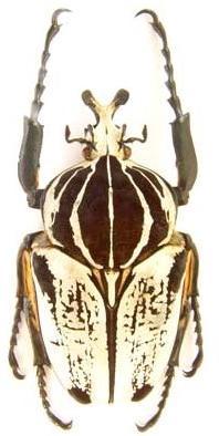 Goliathus goliatus conspersus