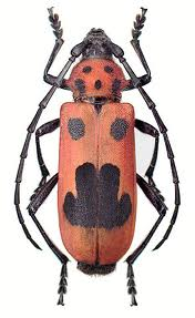 Longhorn beetle 1