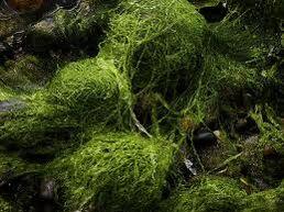 Seeweed