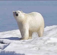 File:Polar Bear.jpg