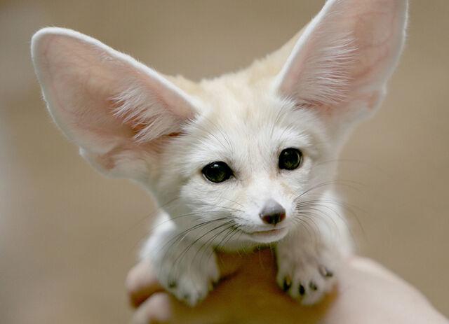 File:Cute-white-fennec-fox-big.jpg