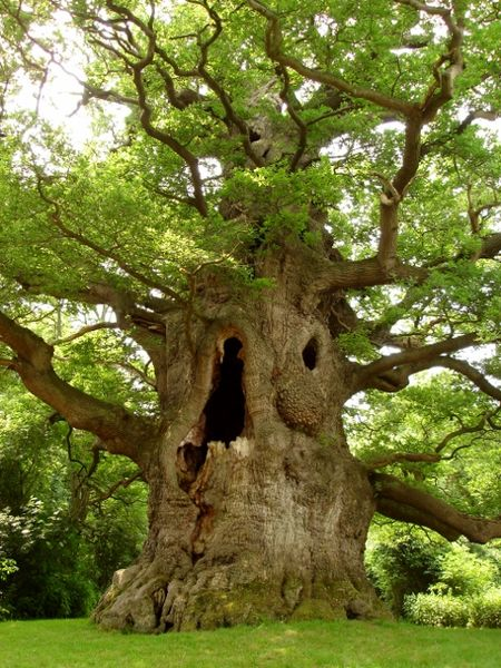 RuudSteg Veteraanboom UK Nonington Fredville Oak