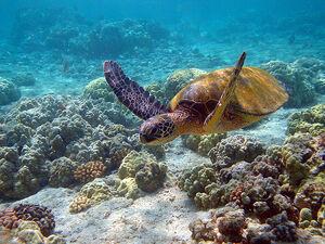 Hawaii turtle 2