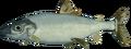 Lake whitefish (raw).png