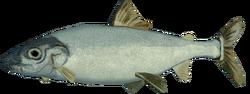 Lake whitefish (raw)