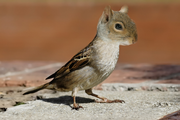 Squirrel Bird