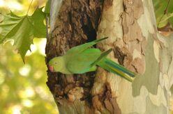 Rose-Ringed Parakeet Seville (2)