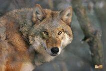 Mongolianwolff