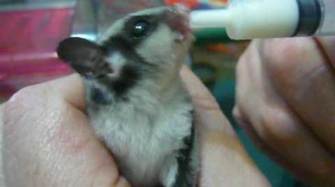 Feeding a baby sugar glider