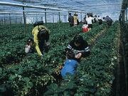 Matsunami Strawberry
