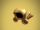 Golden Dominus
