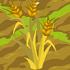 Barley 70