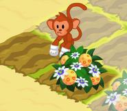Monkey harvesting